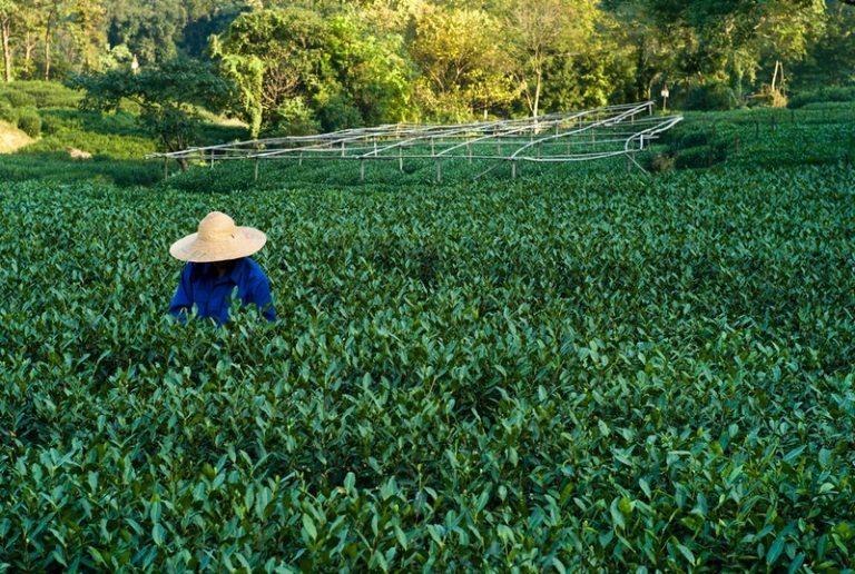 Davids Tea donne du goût à votre Thé Vert