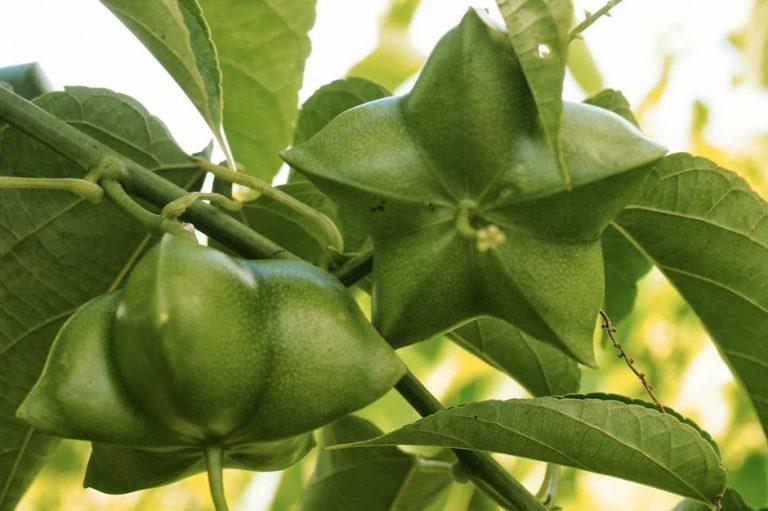 Les Essentiels de Botanikap – l'huile de Sacha Inchi
